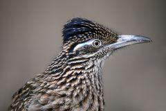 Greater roadrunner. Close up portrait royalty free stock photos