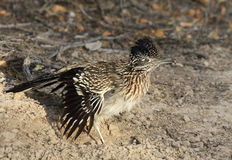 Greater Roadrunner with a Grub Royalty Free Stock Images