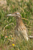 Greater Roadrunner. Roadrunner looking around above the grass Royalty Free Stock Image