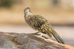 Greater Roadrunner Looking at Camera Stock Photos