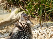 Greater roadrunner looking out at the world stock photos