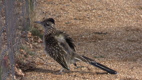 Greater Roadrunner near Fence stock footage
