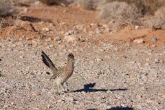 Greater Roadrunner in Nevada Desert. A greater roadrunner in the Nevada desert royalty free stock image