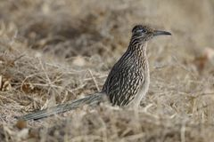 Greater Roadrunner - New Mexico. Greater Roadrunner Geococcyx californianus - Bosque del Apache National Wildlife Refuge, New Mexico royalty free stock photo