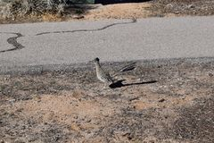 Greater Roadrunner the New Mexico state bird. The Greater Roadrunner the New Mexico State bird in its natural habitat stock photography