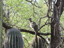 Greater Roadrunner Stock Image
