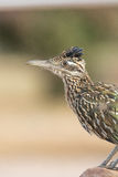 Greater Roadrunner Portrait Stock Image
