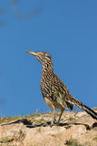 Greater Roadrunner on Ridge Stock Photo