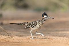 Greater Roadrunner in Rio Grand Valley of Southern Texas, USA. Adult Male Greater Roadrunner in Rio Grand Valley of Southern Texas, USA stock photo