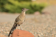 Greater Roadrunner on Rock Stock Photography