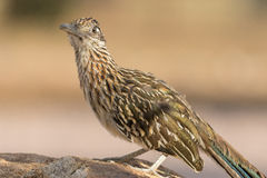 Greater Roadrunner on rock. A greater roadrunner standing on a rock Stock Photography
