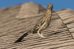 Greater Roadrunner on Roof of House Stock Photo
