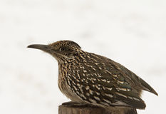 Greater Roadrunner sitting on top of a post Stock Photography
