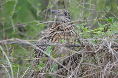 Greater Roadrunner. In South Texas Royalty Free Stock Photography