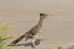 Greater Roadrunner Royalty Free Stock Photo