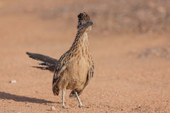 Greater Roadrunner Standing Head on Royalty Free Stock Photo