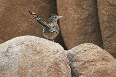 Greater roadrunner. Standing on the rock royalty free stock images