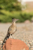Greater Roadrunner Standing on Rock. A greater roadrunner standing on a rock stock image
