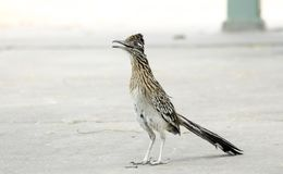 Greater Roadrunner, Sweetwater Wetlands, Tucson Arizona desert. The greater roadrunner, Geococcyx californianus, is a long-legged bird in the cuckoo family royalty free stock photography