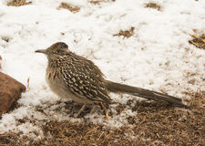 Greater roadrunner waiting for prey Royalty Free Stock Photography