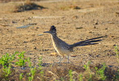 Greater Runner. An image of a roadrunner Royalty Free Stock Images