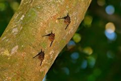 Greater sac-winged white-lined bat Saccopteryx bilineata, family Emballonuridae native to Central and South America. Three anima Stock Photo