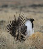 Greater Sage-Grouse Centrocercus urophasianus at a Lek in SE Wyoming. 6. Greater Sage-Grouse Centrocercus urophasianus putting on a mating display at a Lek in SE Stock Image