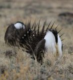 Greater Sage-Grouse Centrocercus urophasianus at a Lek in SE Wyoming. 8. Greater Sage-Grouse Centrocercus urophasianus putting on a mating display at a Lek in SE Stock Photo