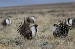 Greater Sage-Grouse Centrocercus urophasianus at a Lek in SE Wyoming. 9. Greater Sage-Grouse Centrocercus urophasianus putting on a mating display at a Lek in SE Stock Photo