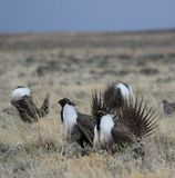 Greater Sage-Grouse Centrocercus urophasianus at a Lek in SE Wyoming. 10. Greater Sage-Grouse Centrocercus urophasianus putting on a mating display at a Lek in Stock Image