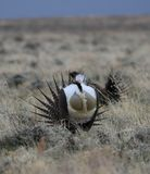 Greater Sage-Grouse Centrocercus urophasianus at a Lek in SE Wyoming. 11. Greater Sage-Grouse Centrocercus urophasianus putting on a mating display at a Lek in Royalty Free Stock Photo