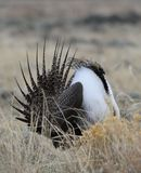 Greater Sage-Grouse Centrocercus urophasianus at a Lek in SE Wyoming. 12. Greater Sage-Grouse Centrocercus urophasianus putting on a mating display at a Lek in Stock Image