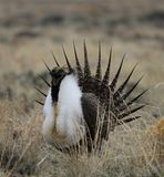 Greater Sage-Grouse Centrocercus urophasianus n SE Wyoming. 5. Greater Sage-Grouse Centrocercus urophasianus putting on a mating display at a Lek in SE Wyoming Stock Photos