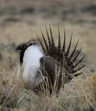 Greater Sage-Grouse Centrocercus urophasianus in SE Wyoming. 5. Greater Sage-Grouse Centrocercus urophasianus putting on a mating display at a Lek in SE Wyoming Royalty Free Stock Image