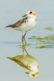 Greater Sand Plover Royalty Free Stock Photos
