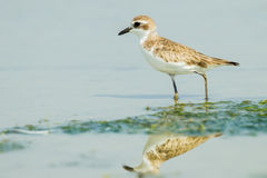 Greater Sand Plover Royalty Free Stock Image