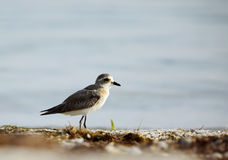 Greater sand plover in the coast of Bahrain Royalty Free Stock Image