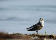 Greater sand plover Royalty Free Stock Images