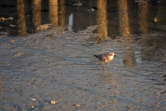 Greater Sand Plover stand in the evening sun stock photography