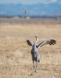 Greater Sandhill Crane Dance Royalty Free Stock Images