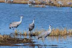 Greater Sandhill Cranes Stock Images