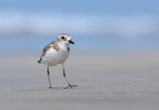 Greater Sandplover on Goa Beach Royalty Free Stock Image