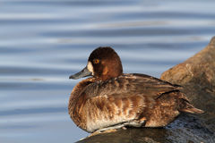 Greater Scaup Royalty Free Stock Photography