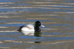 Greater Scaup. The Greater Scaup is a migratory species of waterfowl native to North America Stock Image