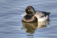 Greater Scaup Afloat. A Greater Scaup drake (Aythya marila) sunning himself as he floats in White Rock Lake in Dallas, Texas Royalty Free Stock Photo
