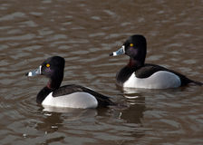 Greater Scaup (Aythya marila) Stock Photos