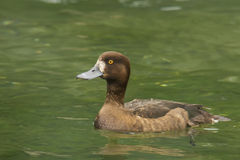 Greater scaup Royalty Free Stock Images