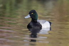 Greater scaup, Aythya marila Royalty Free Stock Image