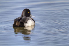 Greater Scaup in Blue Water Stock Photography