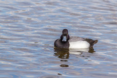Greater Scaup or Bluebill. Greater Scaup male and female swimming in the lake Royalty Free Stock Photo